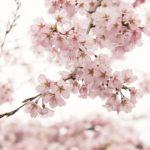 cherry-wood-3089841_640